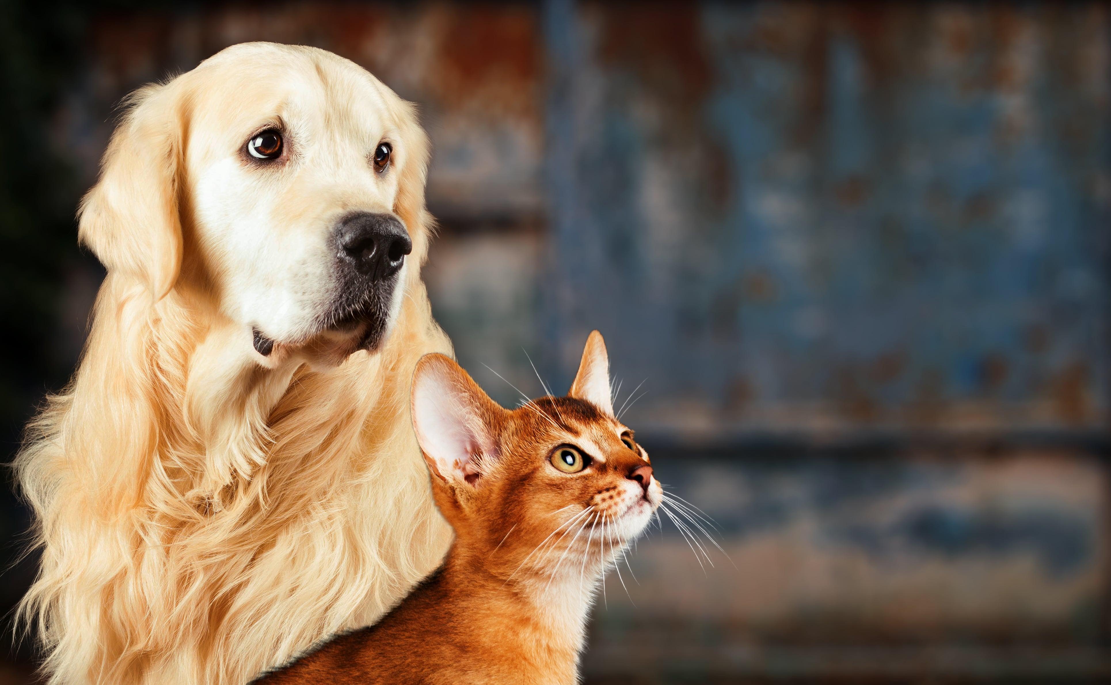 Um golden retrieven e um gato caramelo olham para a câmera.